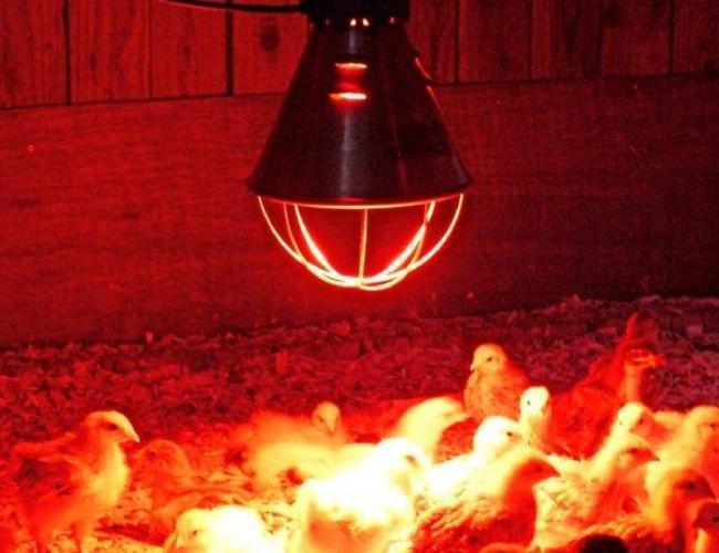 Обогрев курятника зимой инфракрасной лампой
