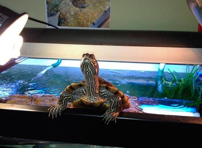 Выбор ультрафиолетовой лампы для красноухой черепахи